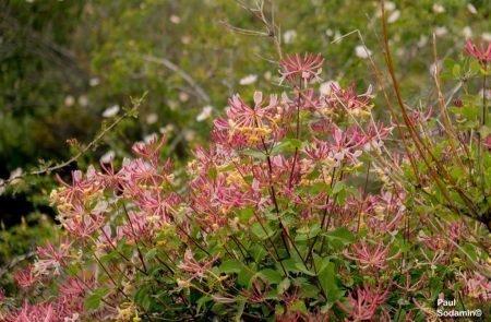 18-06-08_Korsika - Blumen 1