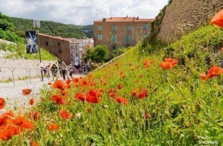 18-06-08_Korsika - Blumen 12