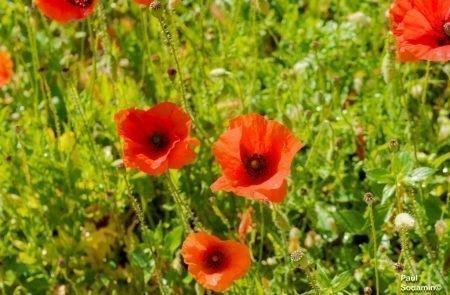 18-06-08_Korsika - Blumen 13