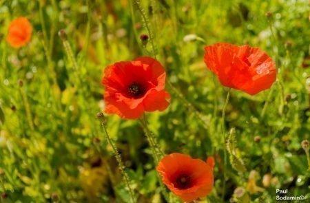18-06-08_Korsika - Blumen 14