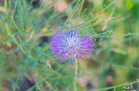 18-06-08_Korsika - Blumen 16
