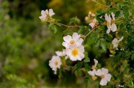 18-06-08_Korsika - Blumen 2