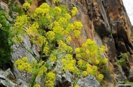18-06-08_Korsika - Blumen 4