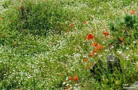 18-06-08_Korsika - Blumen 6