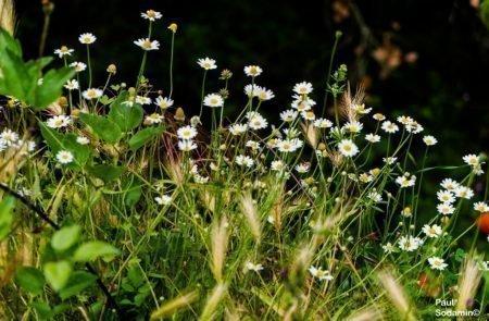 18-06-08_Korsika - Blumen 7