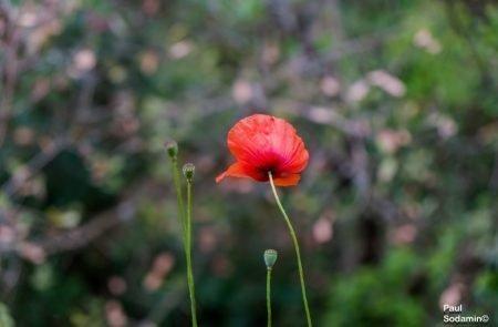 18-06-08_Korsika - Blumen 8