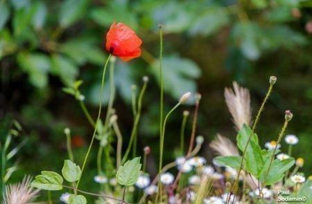 18-06-08_Korsika - Blumen 9
